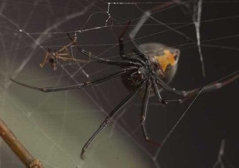 Image: Australian redback spiders