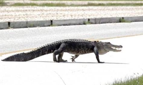 Image: Alligator on runway