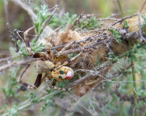 Image: Stegodyphus tentoriicola