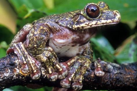 Image: Rabbs Fringe-limbed Treefrog