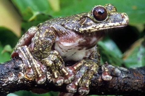 Image: a Rabbs Fringe-limbed Treefrog