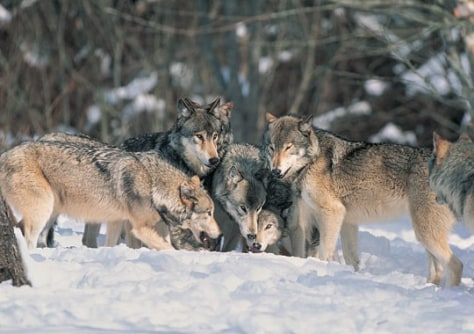 Image: Pack of wolves