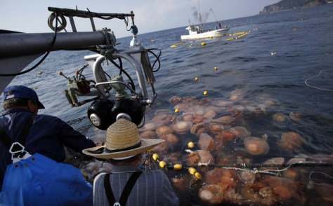 Image: Fishermen pulling a net full of jellyfish out of the ocean