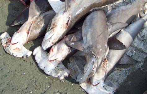 Image: Hammerhead sharks