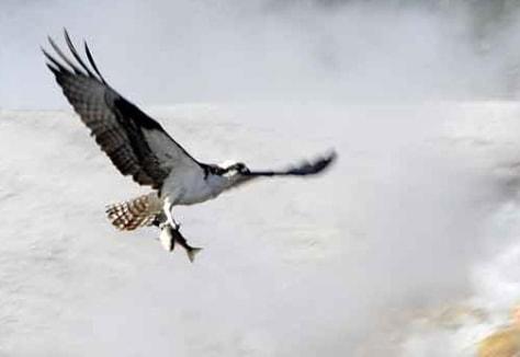 Image: osprey