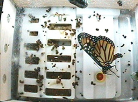 Image: Monarch butterfly aboard the international space station.