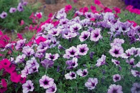 Image: Petunias