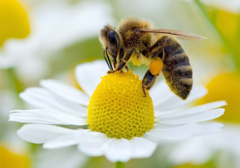 Image: Bee collects pollen from a camomile blossom