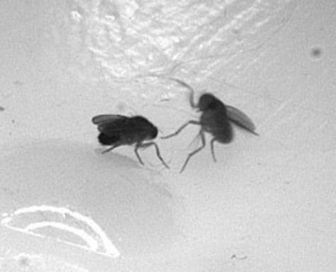 Image: Fruit flies