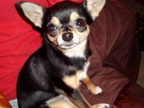Image: Lola the Chihuahua