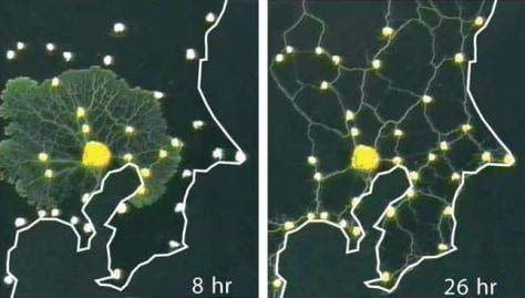 Image: Slime mold
