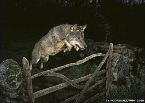 Image: Wolf photo