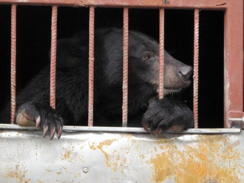 Image: Bears rescued in Vietnam