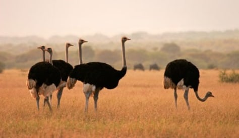 Image: Ostriches