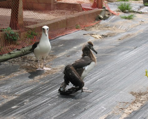 Image: Albatross chick with droopwing