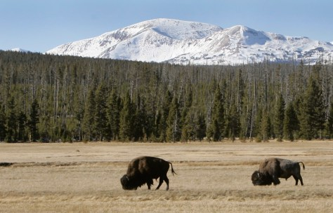 Image: Buffalo graze in Yellowstone National Park, Wyo