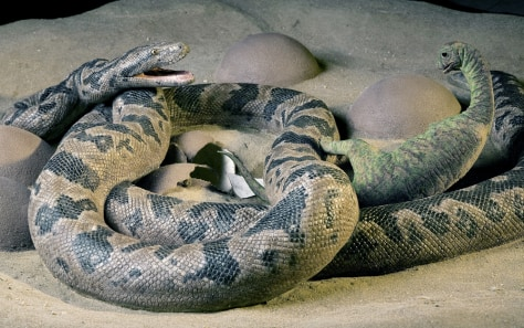 Image: Life-sized reconstruction of moment just before preservation of snake and dinosaur.