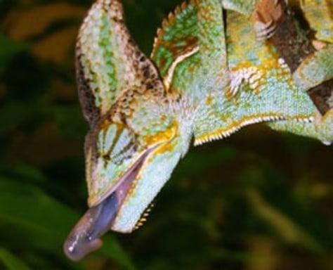 Image: Chameleon tongue