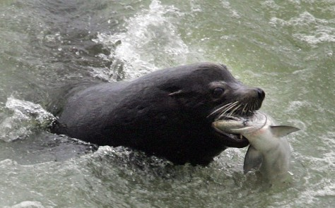 Image: Sea lion eating salmon