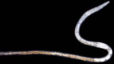 Image: New worm species