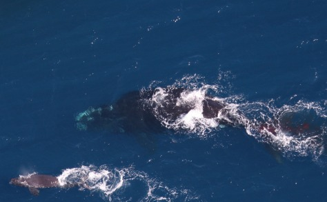 Image: Right whale and newborn calf