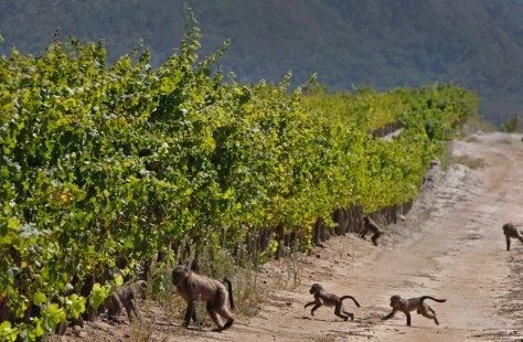 Image: Baboon's run past a vineyard on the Constantia Uitsig wine estate situated on the outskirts of Cape Town, South Africa