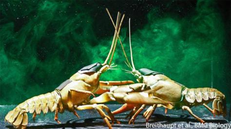 Image: Fighting crayfish