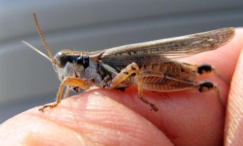 Image: Grasshopper