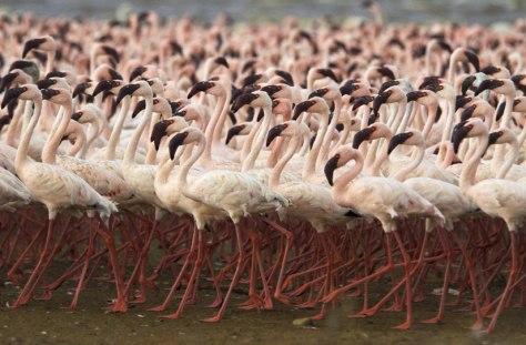 Image: Flamingos