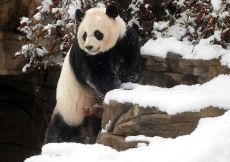 Image: Giant panda Mei Xiang