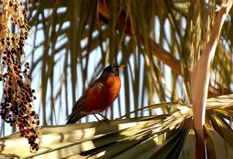 Image: American robin