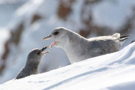 Image: Northern fulmars