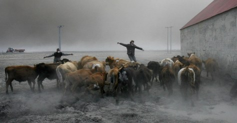 Image: Ranchers herd cattle in volcanic dust
