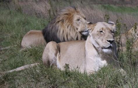 Image: Lions
