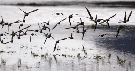 Image: Sandpipers fly onto flooded farm field
