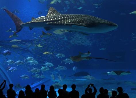 Image: Whale shark