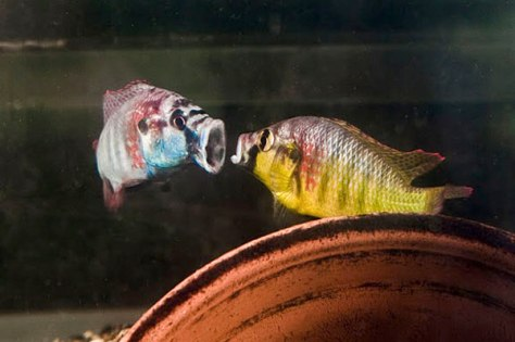 Image: Two male cichlids
