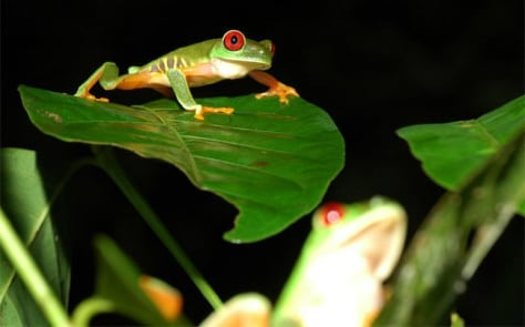 Image: Red-eyed tree frogs