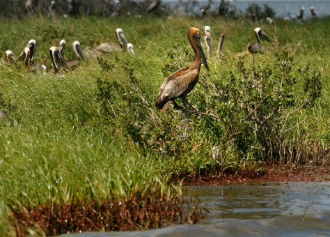Image: Oil-stained brown pelican