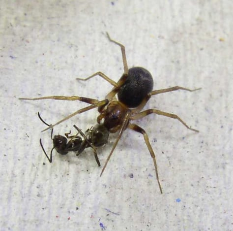 Image: Zodarion spider