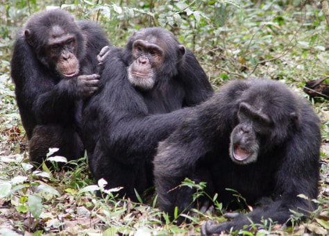 Image: Chimpanzees