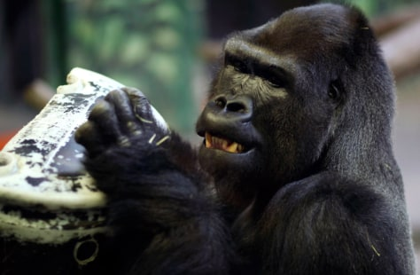 Image: Husani, a male western lowland gorilla, makes his official debut at Hogle Zoo