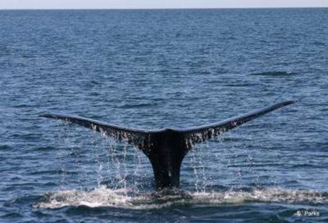 Image: North Atlantic right whale