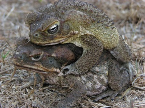 Image: A cane toad couple mating