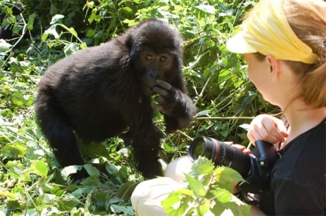 Image: Wild baby gorilla interacts with woman