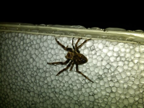 Image: One of the thousands of spiders found in a Guam-bound cargo ship from South Korea at the Port Authority of Guam