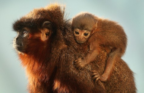 Image: Titi monkeys at London Zoo