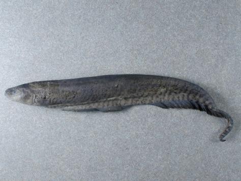 Image: Gymnotus omarorum