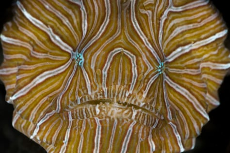 Image: Psychedelic frogfish