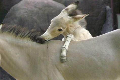 Image: Baby donkey nuzzles a larger donkey